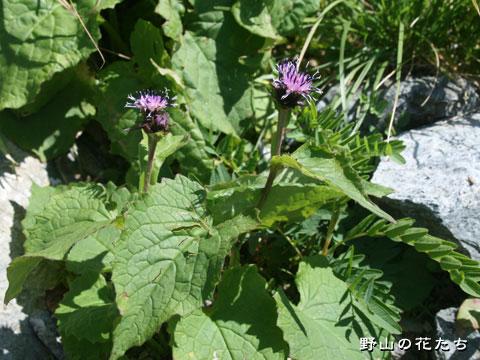 クロトウヒレン - 野山の花たち ...