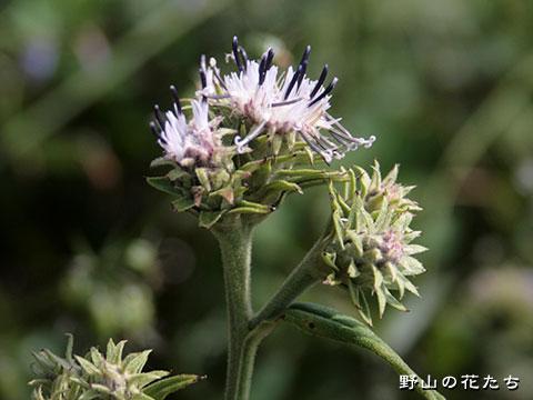 ウゴトウヒレン - 野山の花たち ...