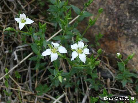 カトウハコベ - 野山の花たち 東...
