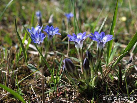 ハルリンドウ - 野山の花たち 東...